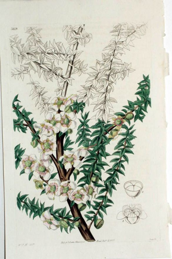 L'arbre à thé est une plante populaire pour traiter les boutons d'acné ou de fièvre, mais aussi les verrues plantaires et les mycoses. En aromathérapie, l'arbre à thé purifie les sens et encourage une respiration saine et un système immunitaire fort. Dès les premiers signes de rhume ou de grippe, l'huile essentielle d'arbre à thé donnera un « coup de fouet » à votre organisme et lui permettra de mieux lutter contre l'infection.