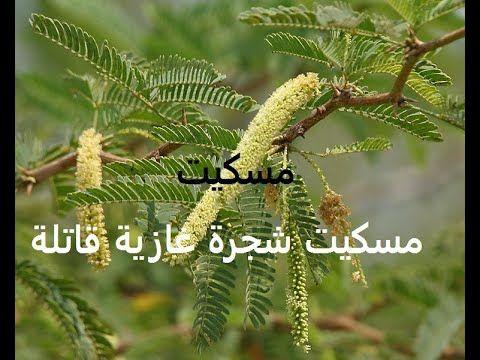 مسكيت شجرة قاتلة غازية للوطن العربىprosopis Juliflora حلقة 325 Plants