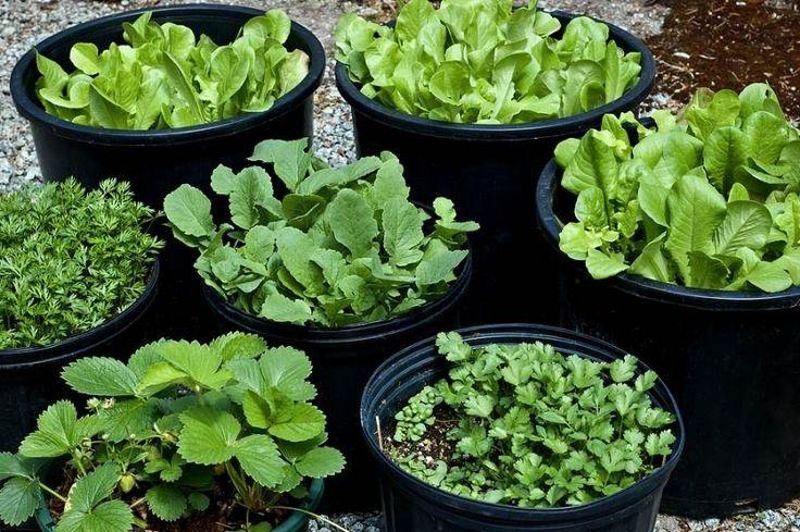 jardin potager en pot à mettre au balcon: salade, fraises et persil