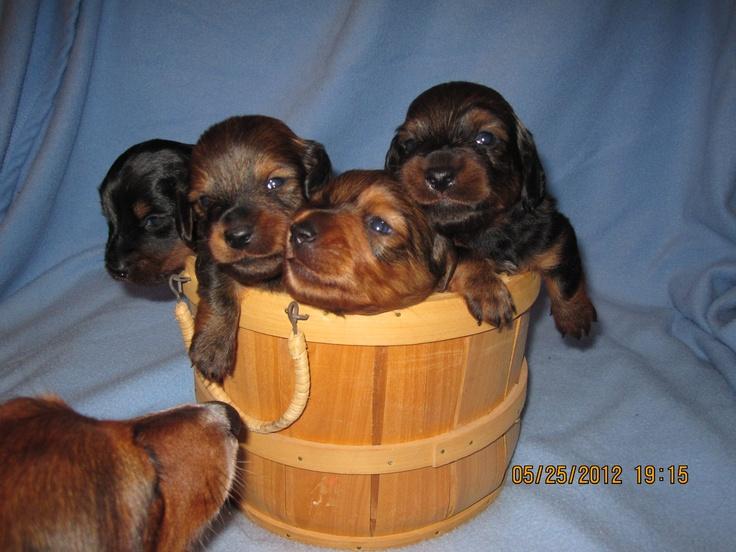 3 week old dachshund pups weiner dog pets pup