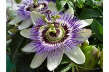 Go Herbal to Beat Anxiety:  Kava and passionflower maybe the most effective anti-anxiety herbs, reports a recent Nutrition Journal. Other research suggests Valerian may also help. Note: If you have liver disease avoid Kava.
