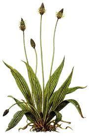 Image result for botanische zeichnungen bartflechte
