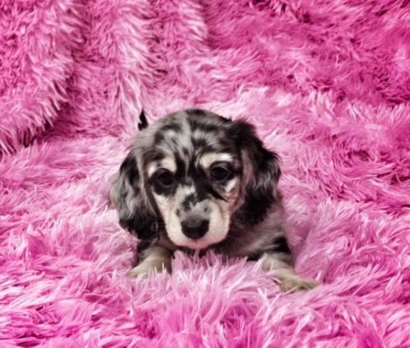Miniature Dachshund Puppies | CKC Registered Miniature Long Hair Dachshund Puppies for sale in ...
