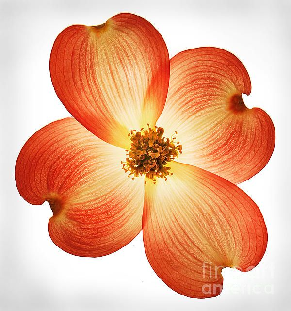 Dogwood Flower Line Drawing : Images about dogwood flowers on pinterest clip art