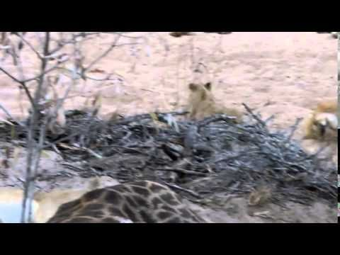 Lions Devouring a Giraffe and her calf at &Beyond Ngala Game Reserve