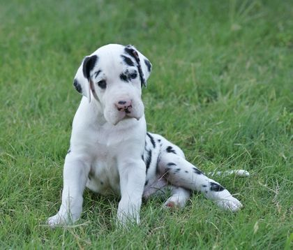 Pin By Shirley Lata On Cute Animals And More Dane Puppies Great