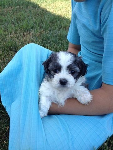 $400.00 each - Shichon Puppies for sale;