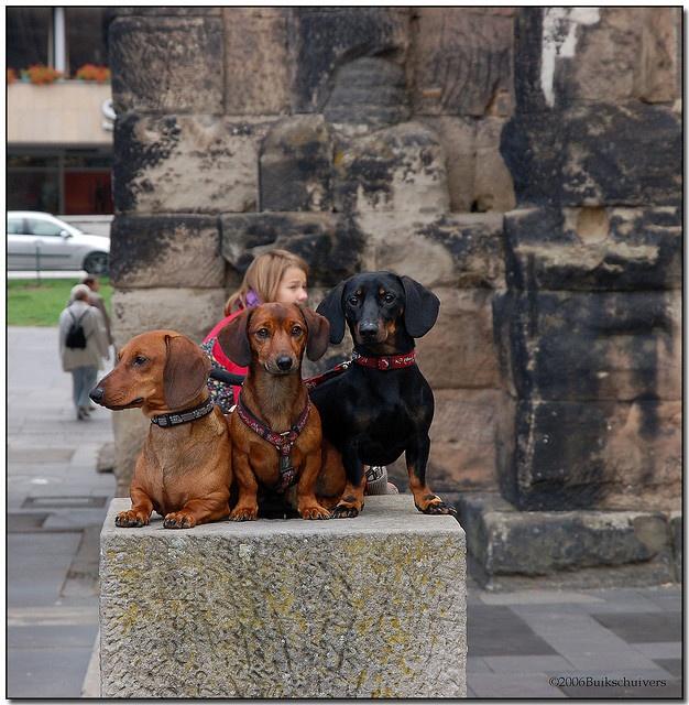 Dachshunds on pedestal