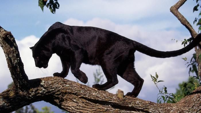 Where do wild black panthers live?