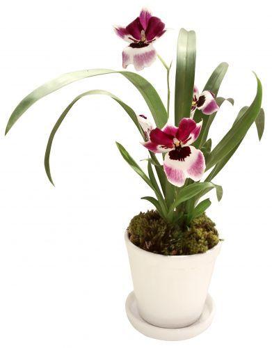 Miltonia: Esta orquídea tem uma grande variedade de cores, podendo apresentar misturas de até cinco diferentes tons numa mesma flor. Atinge até 15 cm de altura e a duração das flores é de 15 dias em média. Geralmente, floresce uma vez ao ano. Deve ficar à meia-sombra, evitando o sol direto entre 11h e 14h.  A rega depende do substrato que vem no vaso: casca de madeira absorve mais rápido a água, pedindo regas mais frequentes; já se for um musgo, fibra de coco ou xaxim, ela pode ser mais…