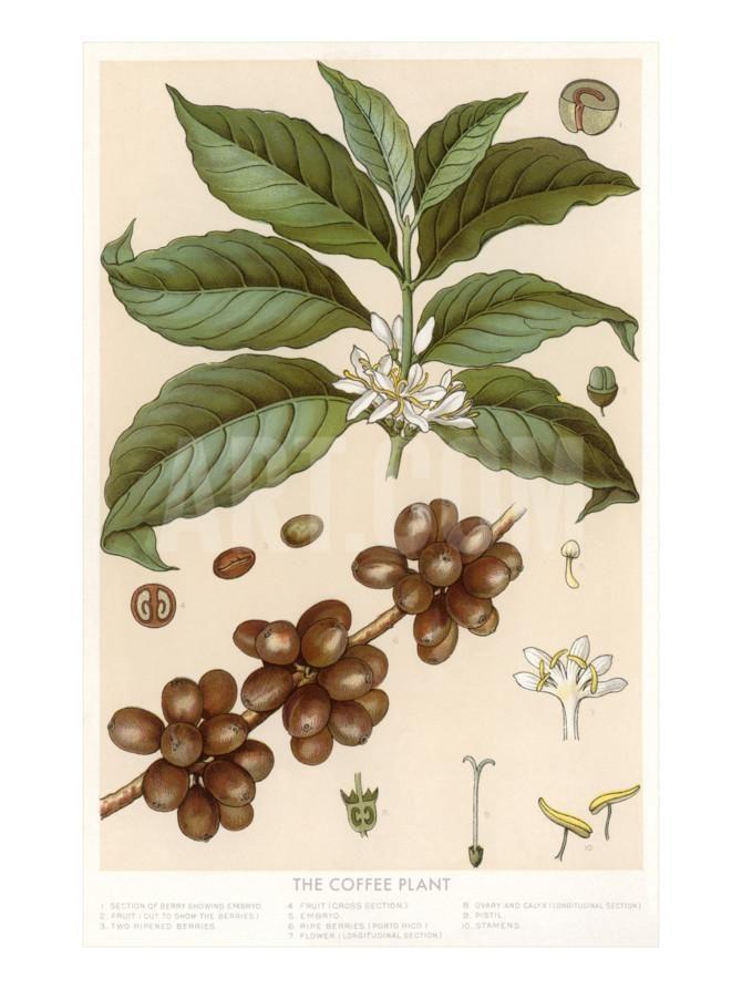 Botanical Drawing of Coffee Plant Art Print at Art.com