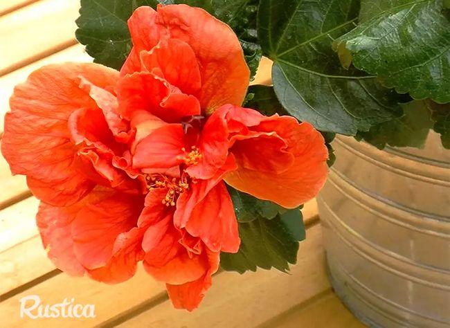 Les 398 meilleures images propos de jardins d 39 ornement sur pinterest jardins glycines et - Taille de l hibiscus ...