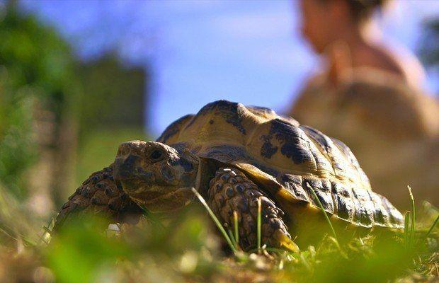 Tartaruga Russa: Cuidados Básicos