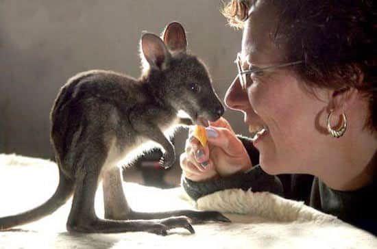 Les bébés animaux les plus mignons : kangourou.