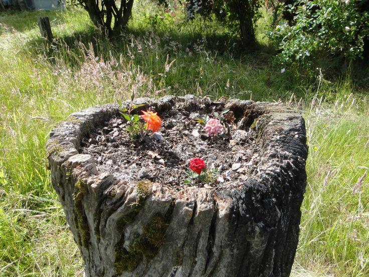 Pequeñas rosas en macetero natural, con tierra de compost elaborado en Rancho Vaitea.