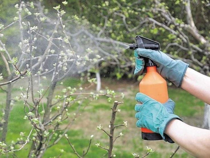 Чем обработать яблони от болезней и вредителей. Проверенные средства!   Дачные секреты от Виктории Радзевской   Яндекс Дзен