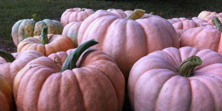 Farmers are Growing Pink Pumpkins to Raise Money for Breast Cancer Research   That is Pretty in pink.