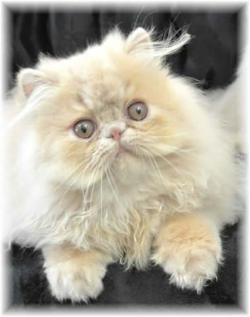 Show Felines - Persians and Himalayans Cats and Kittens.  Kato's baby.