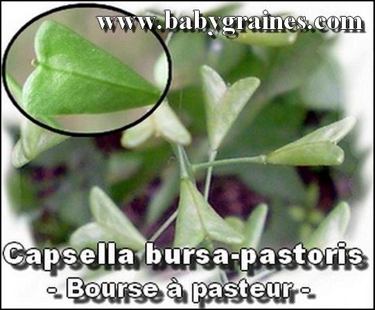 Capsella Bursa - Pastoris , Bourse à Pasteur