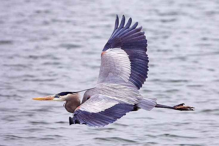 File:Great blue heron - natures pics. - Blue Heron is my favorite bird.