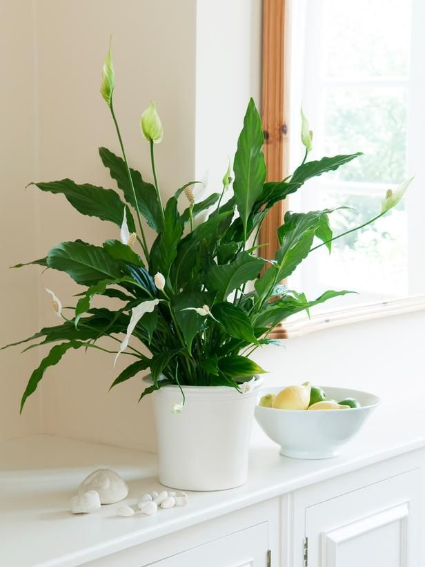 Low-Light Plants for Indoors on HGTV - Peace lily. This popular housewarming gift tolerates low to medium light, but it needs soft, bright light for flowering. Position them on a north-facing windowsill, shielded from direct sunlight. The plant will then flower at various intervals.