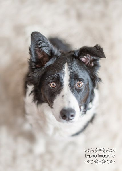 Gus the border collie