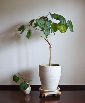 ウンベラータ 実例,種類,育て方,花言葉,増やし方/観葉植物図鑑