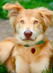 Phoenix is an adoptable Golden Retriever Dog in Central Square, NY. Phoenix is a 7 to 9 month old Golden-Husky mix with a unique look and gorgeous eyes! He's 30 lbs of playfulness and curiosity - he p...
