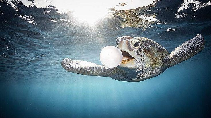 A turtle eating a jellyfish for breakfast!  Bon appetit!  #animals #biology #images #omg pictures #appetit #Bon #breakfast #jellyfish #turtle