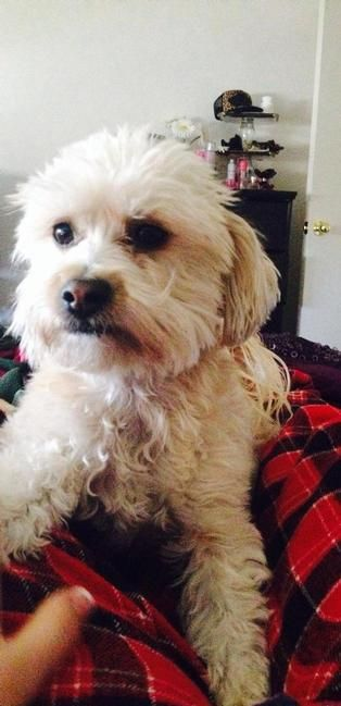 Lost Dog - Poodle in SAN BERNARDINO, CA  Pet Name:Daisy (ID# 55544) Gender:Female Breed:Poodle Breed 2:Maltese Color:Tan/Cream Color 2:White Pet Size:Small (10-19lbs) Pet Age:3 years Date Lost:05/05/2014 Zip Code:92407 (SAN BERNARDINO, CA) See All Lost Dogs In SAN BERNARDINO, CA