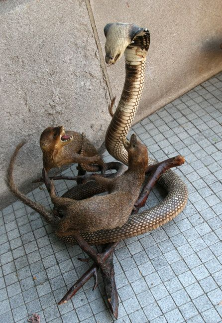 best rikki tikki tavi images mongoose rudyard vintage taxidermy white cobra two mongooses 550 00 via