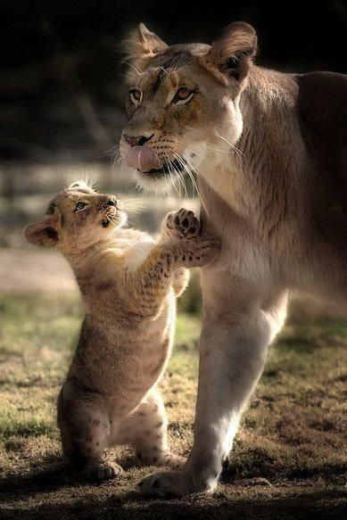 lioness and cub relationship with god