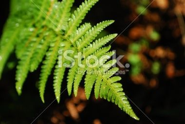 Sunlit New Zealand Fern Frond Royalty Free Stock Photo