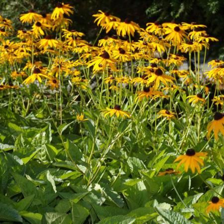Black-eyed Susan Rudbeckia fulgida var. sullivantii Common Names: Goldstrum, Orange Coneflower Light: Full Sun/Part Shade Height: 1′ – 3′ Spacing/Spread: 1′ – 3′…