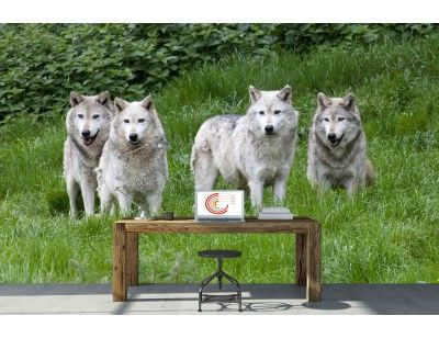 """Pack of Grey Wolves"". A wall mural from Muralunique.com. https://www.muralunique.com/pack-of-grey-wolves-13-5-x-8-4-11m-x-2-44m.html"