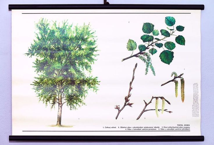 Vintage school wall chart botanical Aspen poplar art poster Rare original decor #KomeniumPraha