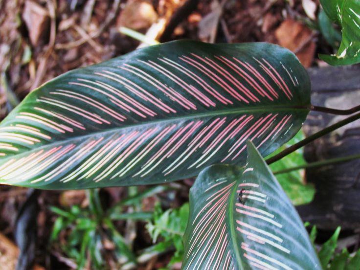 Эта уроженка тропиков выращивается из-за красивых листьев, способных оживить любой интерьер. Уход за Калатеей в домашних условиях имеет свои особенности, цветок этот капризен, а некоторые виды – настоящие привереды. Виды и сорта Калатеи Это растение отличается удивительной окраской листьев, в которой сочетаются все оттенки зеленого, белый и желтый цвета. Есть виды с темными листьями, имеющими розовые прожилки. Чаще всего в комнате выращивают следующие виды Калатеи. Калатея Варшевича…