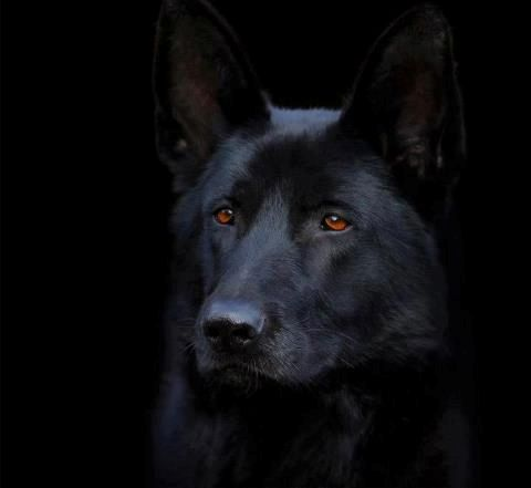 Stunning Black German Shepherd Police Dog                                                                                                                                                                                 More