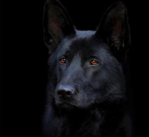 Stunning Black German Shepherd Police Dog                                                                                                                                                                                 More