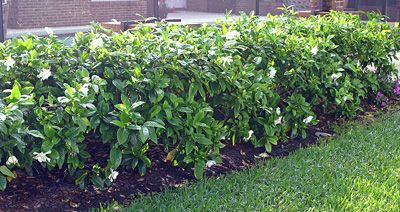 Gardenia Hedge  The hedgerows in Florida are notable.  Of course the climate allows for options not available in cold winter climates