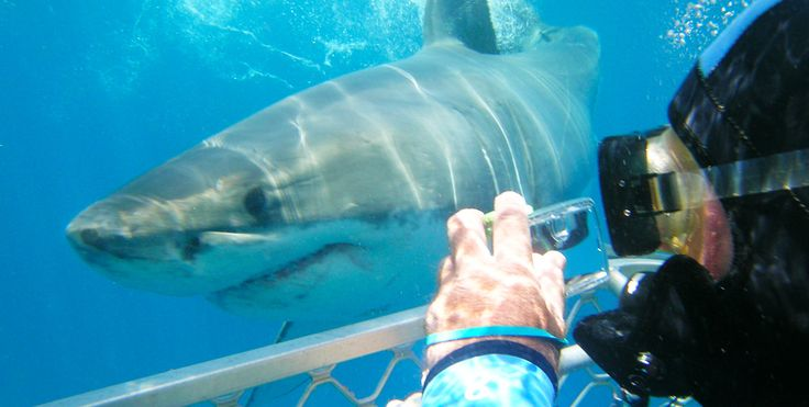 Shark Cage Diving encounter