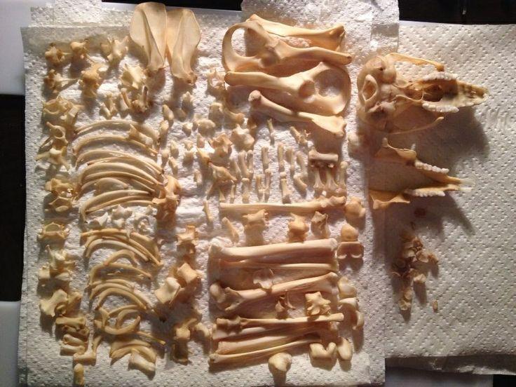 Possum jigsaw bones skeleton