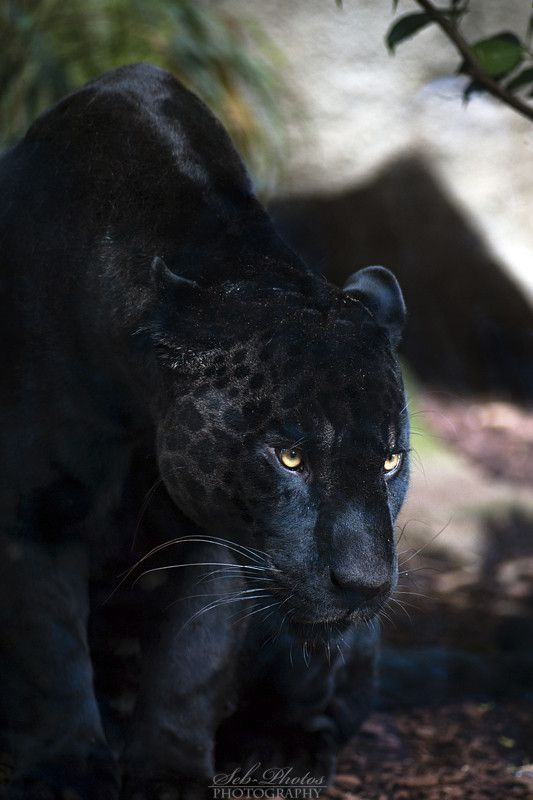 ~~Dark shadow stare... ~ black jaguar by Seb Photos~~