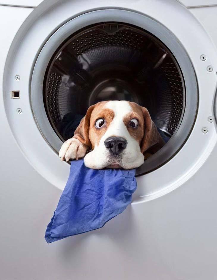 Laundry Day...lol Dog wash, Beagle, Beagle dog