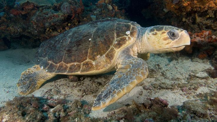 CAMBRIDGE, UNITED KINGDOM—Saying that the species knew it had to start fucking and start fucking fast, officials from the International Union for Conservation of Nature announced Monday that loggerhead turtles—marine reptiles considered critic...