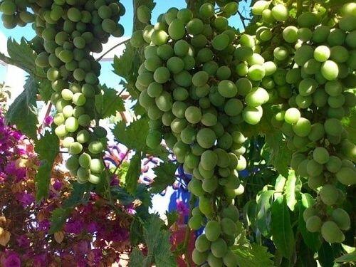Обрезка винограда.Как правильно обрезать молодой виноград? В 1-й год после посадки до осени необходимо вырастить 2 сильных побега.