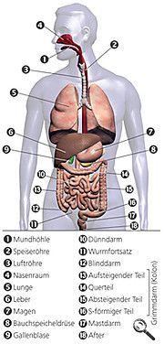 Aufbau und Funktion von Leber, Galle und Bauchspeicheldrüse