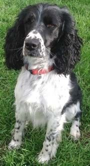 """OUR NEW RESCUE SPRINGER..""""BOO"""" WHO IS TWO! She arrives on Monday!! This is my 13th Springer since 1981!! THE BEST BREED IN THE WHOLE WORLD!"""