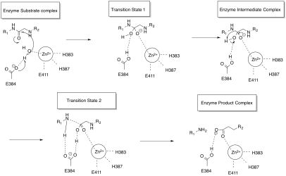 Angiotensin-converting enzyme - Wikipedia