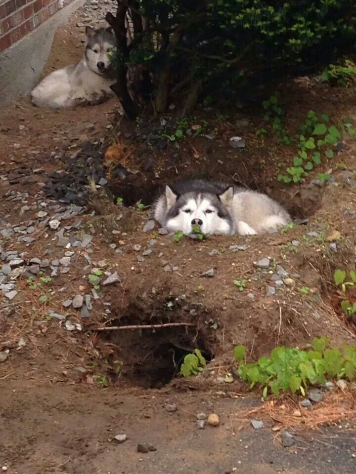 Digging for a reason ~ THEY LIKE TO MAKE A DEN ~
